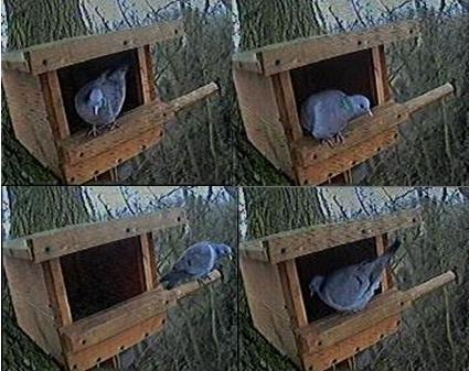 Woodwork Mourning Dove Nesting Box Plans PDF