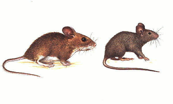 House Mouse and Wood Mouse | www.wildlifekate.co.uk