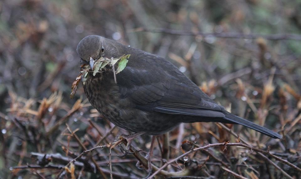 Blackbirdnesting2
