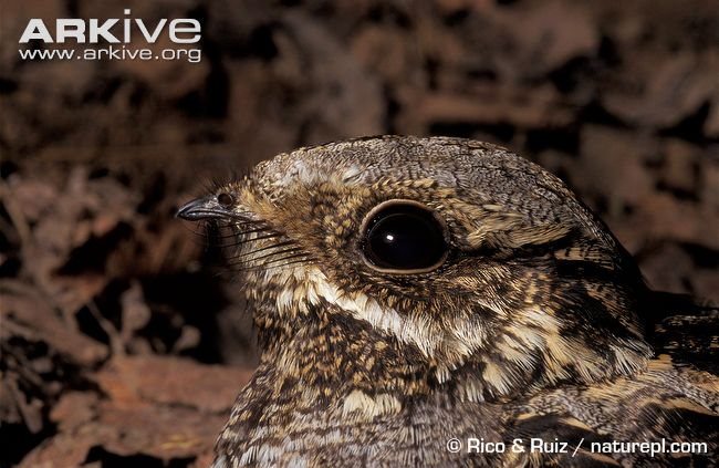 Nightjar-close-up