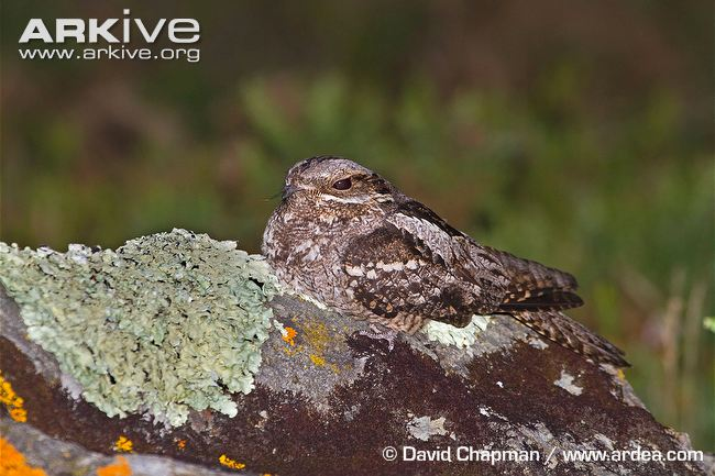 Nightjar-on-rock