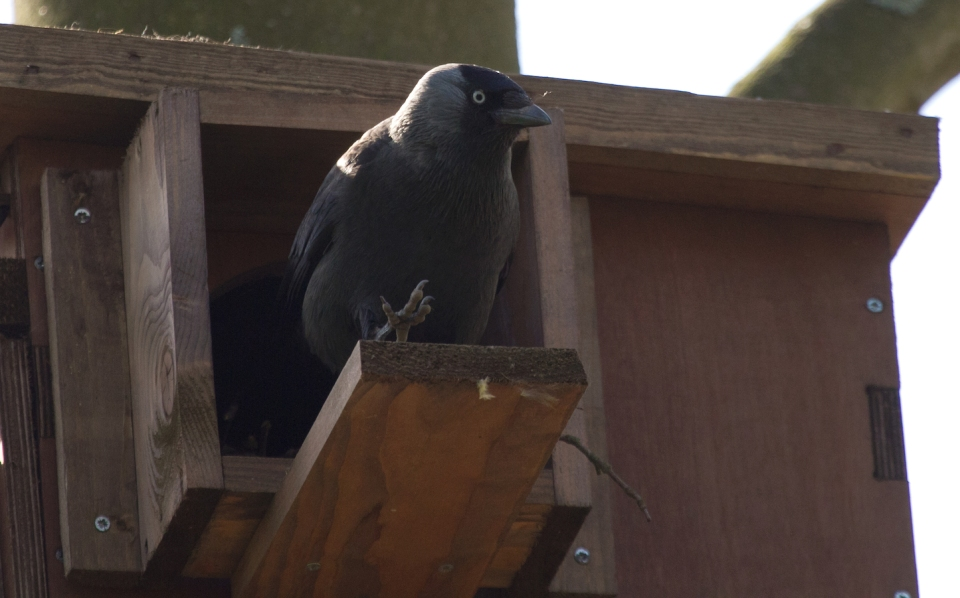Jackdaw coming out Lowres