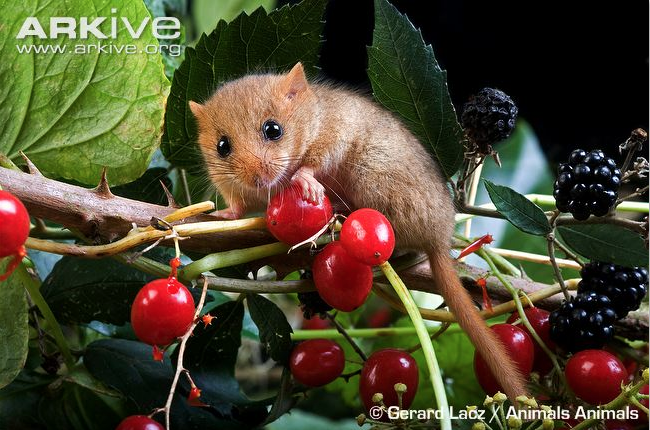 Screen Shot 2014-05-31 at 08.37.46. \u0027 & Can we find evidence of Dormice in Staffordshire ? | www ...