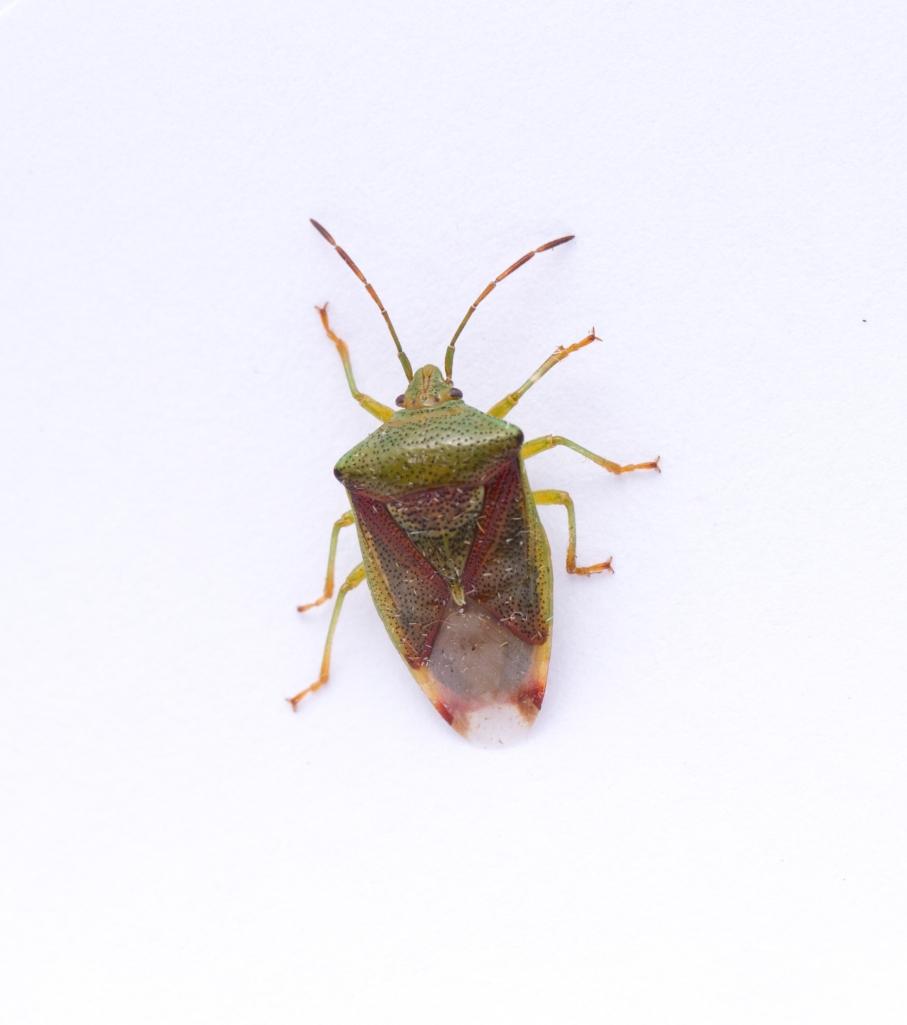 hawthorn Shield Bug-7834
