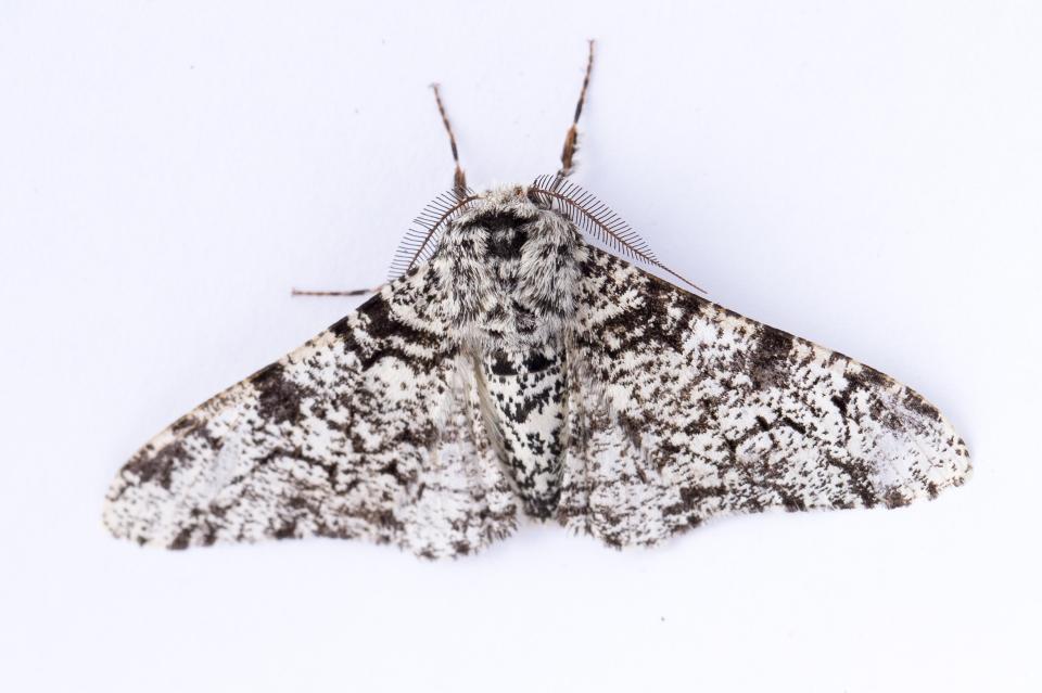 Peppered Moth-7866