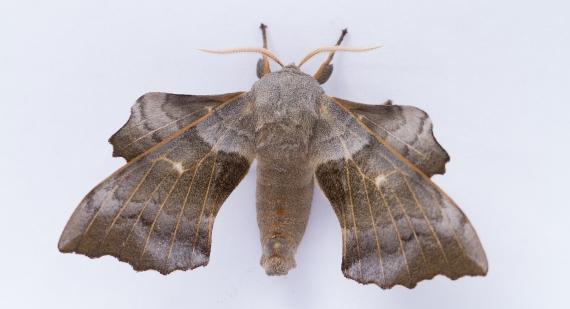 Poplar Hawk Moth-7940