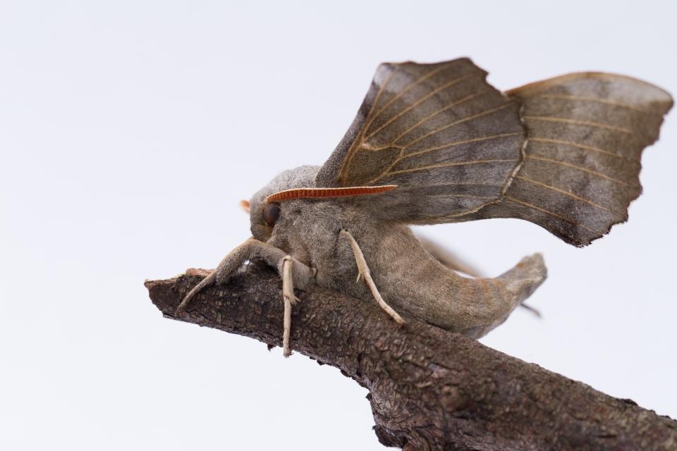 Poplar Hawk Moth-7948