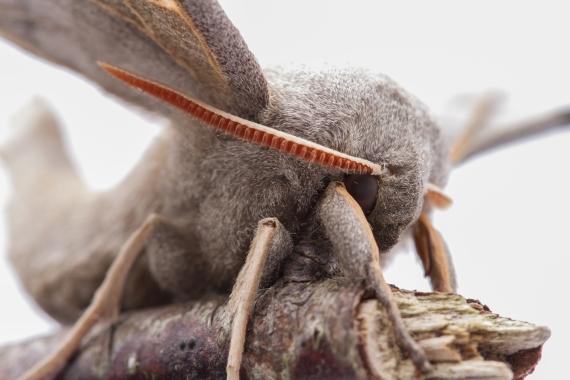 Poplar Hawk Moth-7951
