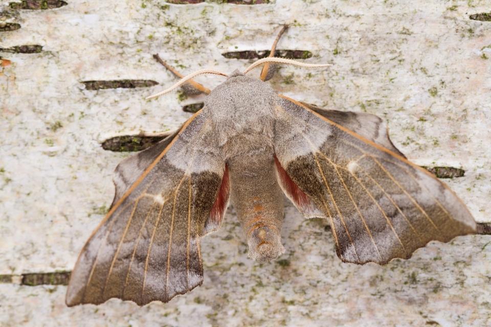 Poplar Hawk Moth-7957