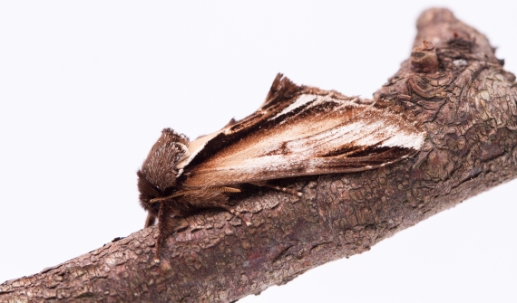Lesser Swallow Prominent-7904