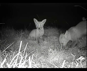 3 Fox Cubs_00002