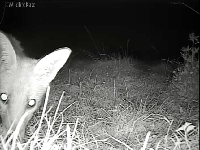 Fox Cub munching_00001