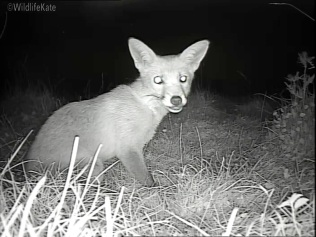 Fox Cub munching_00002