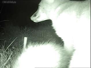 Fox Cub up close_00001