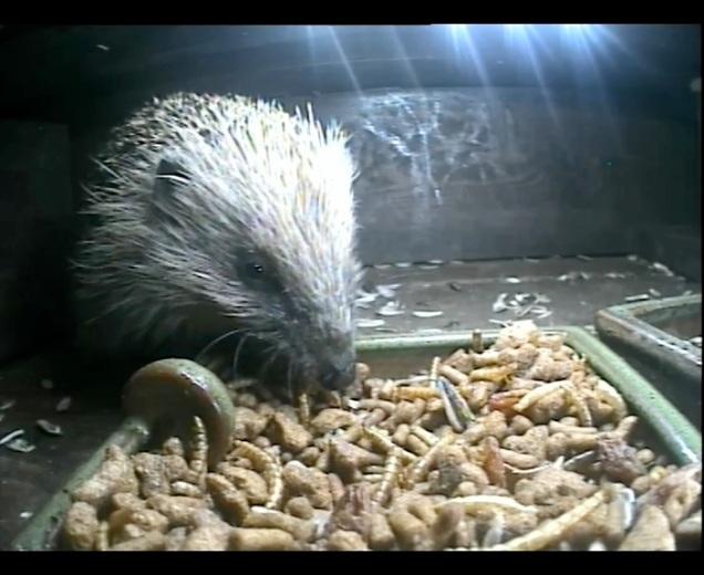 Hedgehog 24thAug_00001