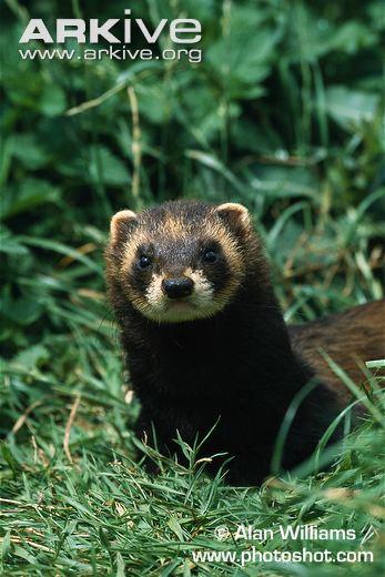 Male-European-polecat-