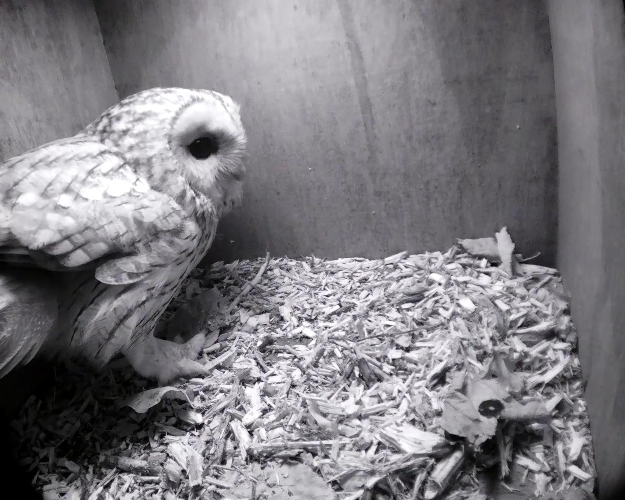 Top Wallpaper Home Screen Owl - tawny-owl-one_00000  Pic_104567.jpg