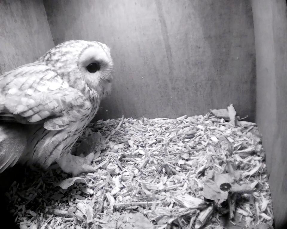 Tawny Owl one_00000