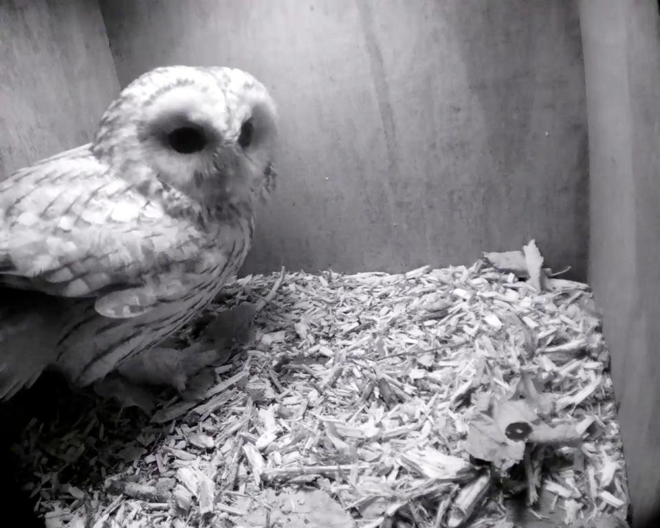 Tawny Owl one_00001