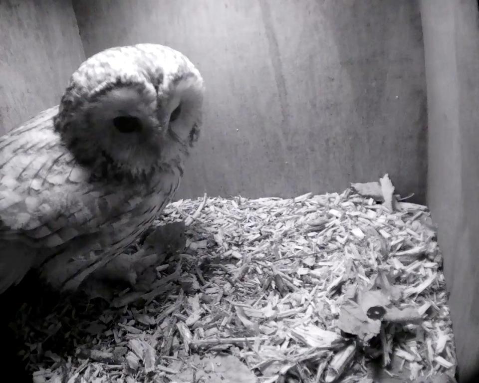 Tawny Owl one_00002