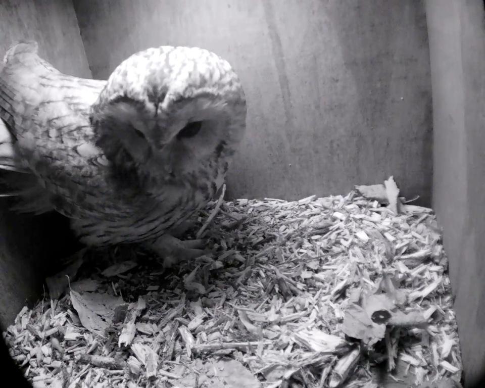 Tawny Owl one_00008