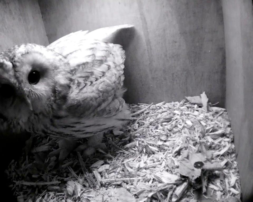 Tawny Owl one_00019