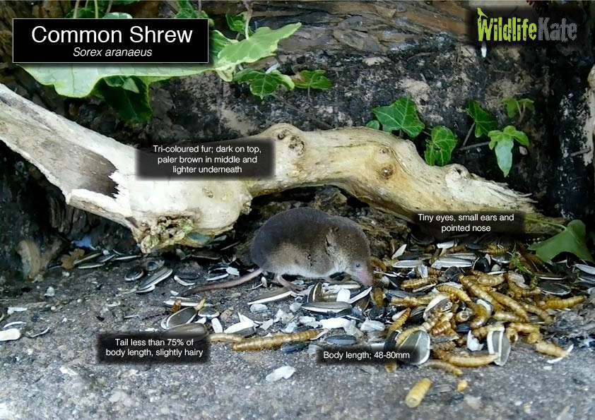 Common Shrew info