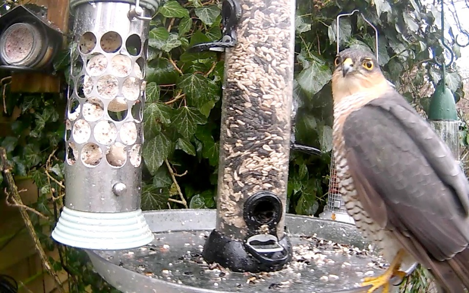 Sparrowhawk male on Hub Feeders_00007
