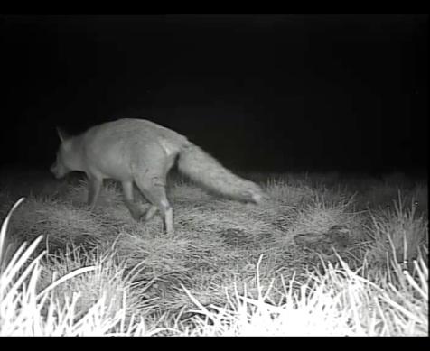 Pregnant vixen March 19th_00001