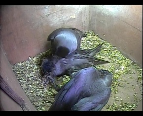 Serious Jackdaw fight_00001