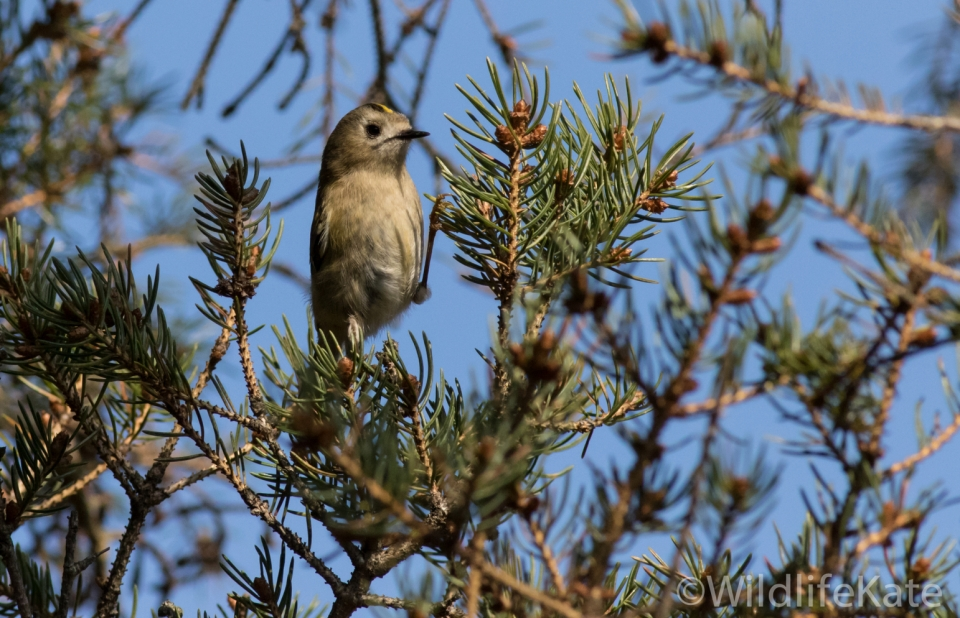 Goldcrest_-3547_lowRes14