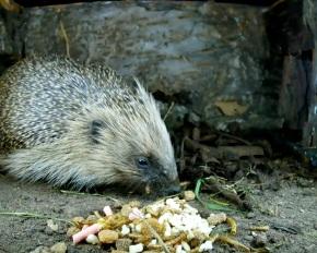 Hedgehog 20th April2_00004