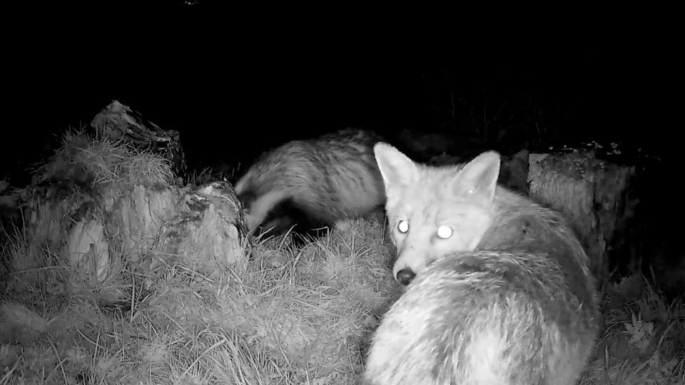 2 badgers plus fox_00000