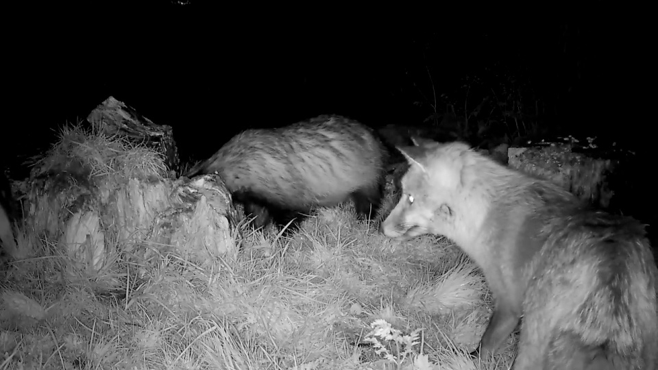 2 badgers plus fox_00001
