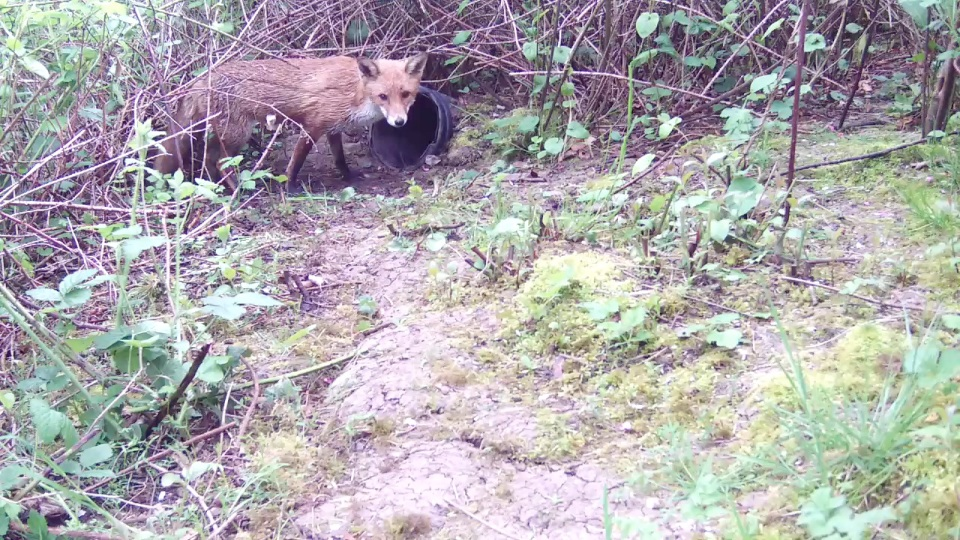 Daytime fox at badger Sett 2 26th April_00002