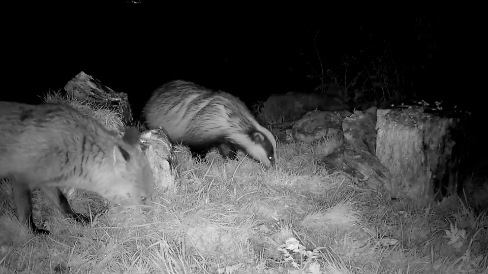 Fox & Badger feeding together_00000
