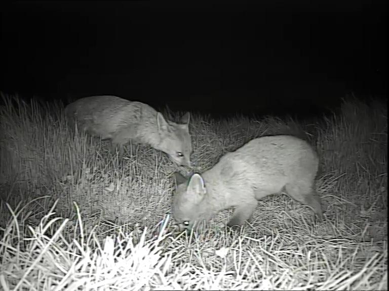 fox cub 12th May_00001