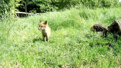 Fox cub 31st May 4pm_00000