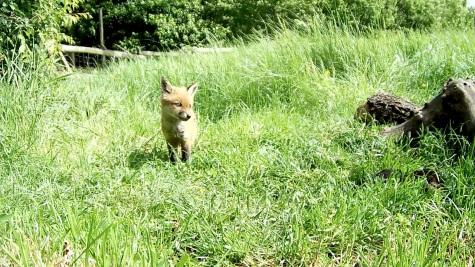 Fox cub 31st May 4pm_00001