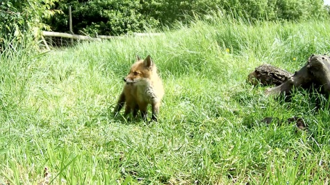 Fox cub 31st May 4pm_00002
