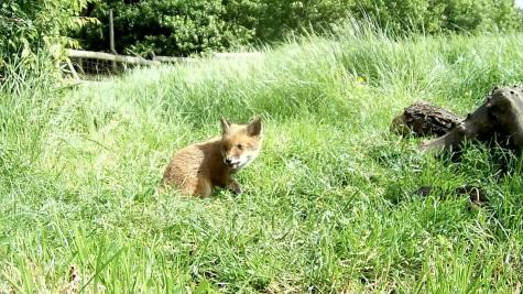 Fox cub 31st May 4pm_00003