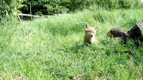 Fox cub 31st May 4pm_00005