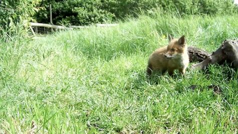 Fox cub 31st May 4pm_2 _00000