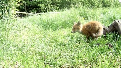 Fox cub 31st May 4pm_2 _00001