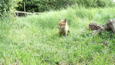 Fox cub 31st May 4pm_3 _00000