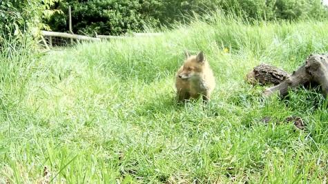 Fox cub 31st May 4pm_3 _00001