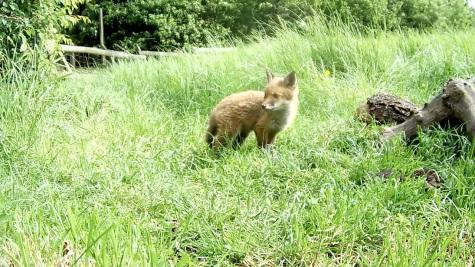 Fox cub 31st May 4pm_3 _00002
