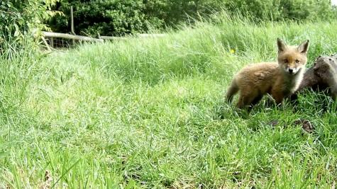 Fox cub 31st May 4pm_3 _00004