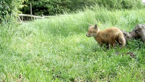 Fox cub 31st May 4pm_3 _00005
