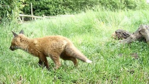 Fox Cub daylight 3pm 31st May_00000